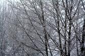 Icy Trees — Stock Photo