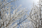Snowy Branches Overhead — Stock Photo