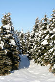Snowy Evergreen Path — Stock Photo