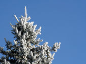 Frosty Evergreen Top — Stock Photo