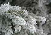 Frosted Pine Branch — Stockfoto
