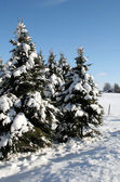 Rural Snowy Evergreens — Stock Photo