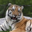 Stock Photo: Open Mouthed SiberiTiger