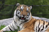 Open Mouthed Siberian Tiger — Stock Photo