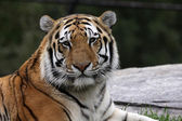 Calm Siberian Tiger — Stock Photo