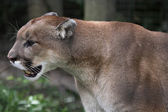 Cougar on the Prowl — Stockfoto