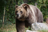Strolling Grizzly Bear — Stock Photo