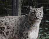 Léopard des neiges à la recherche — Photo