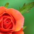 Rose macro — Stock Photo