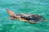 Морская черепаха — ストック写真