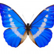Morpho Helenbutterfly. — Stock Photo #6927568