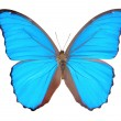 Morpho  butterfly(Morpho didius). - Stock Photo