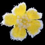 Yellow flower in hoar. — Stock Photo