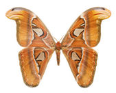 Attacus Atlas butterfly. — Stock Photo