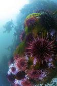Urchin Colony — Stock Photo