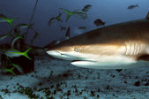 Caribbean Reef Shark — Stock Photo