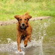Running dog — Stock Photo #6801237