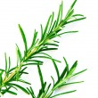Stock Photo: Rosemary