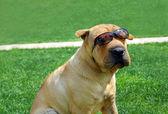 Adorable Shar Pei in sunglasses — Stock Photo