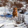 Dog at snow — Stock Photo
