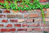 Old brick wall with ivy — Stock Photo