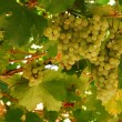 Grapes cluster — Stock Photo #7322958