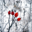 Ice crystals on winter plant — Stock Photo