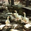 White gooses on stones — Photo