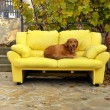 Dog on couch - Stockfoto