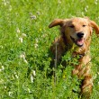 Dog in grass — Stock Photo #7884021