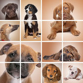 Puppy themed collage — Stock Photo