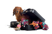 Dog in suitcase — Stock Photo