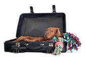 Dog resting in suitcase — Stock Photo