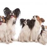 skupina pěti papillon dogs — Stock fotografie