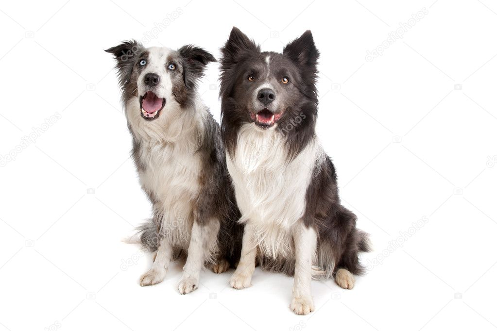 Difference australian shepherd border collie dog breeds picture