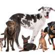 Foto Stock: Large group of dogs