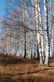 朝白樺の森 — ストック写真