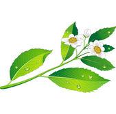 Vector tak van groene thee met bloemen en bladeren — Stockvector