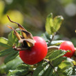 Rosehip — Stock Photo #7342620