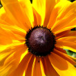 Rudbeckia Flower - Stock Photo