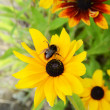 Bee On Rudbeckia Flowers — Stock Photo