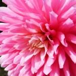 Close Up Dahlia Flower — Stock Photo