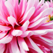 Close Up Dahlia Flower - Stock Photo