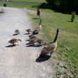 Canadian Geese Family - Stock Photo
