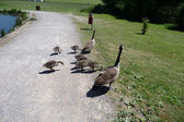 Canadian Geese Family — Stock Photo