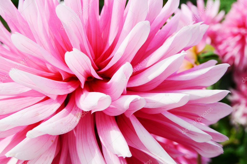 Close up view of a Dahlia flower growing in a garden. — Stock Photo #7169297