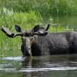 Stock Photo: Bull Moose