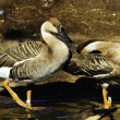 Swan Goose — Stock Photo