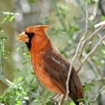 Cardinal — Stock Photo #7303568