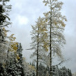 Stock Photo: Aspens in snow